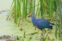 Purple swamphen. In the bird paradise in Turkey Stock Image