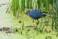 Purple swamphen. In the bird paradise in Turkey Stock Photography