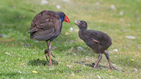 Purple Swamphen with Chick Stock Photo