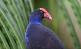 Purple swamphen with green foliage Royalty Free Stock Photography