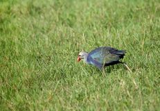 Purple Swamphen feeding in the green. Purple Swamphen has arge size purplish blue coloration with variable grayish head Royalty Free Stock Photo