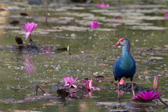 Purple Swamphen. The Purple Swamphen is a large rail. They are found around freshwater swamps, streams and marshes. For such a bulky bird, the Swamphen is an Stock Photography