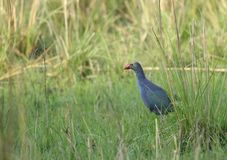 Purple Swamphen. Large size purplish blue coloration with variable grayish head Royalty Free Stock Image