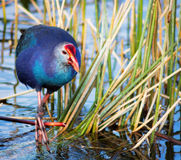 Purple Swamphen Royalty Free Stock Image