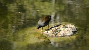 Purple Swamphen. Out in nature during the day stock footage