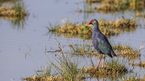 Purple Swamphen Royalty Free Stock Images