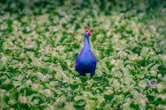 Purple Swamphen - Porphyrio porphyrio. Purple Swamphen in the wetland of Chennai, India Stock Photography