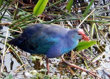 Purple Swamphen (Porphyrio porphyrio) Stock Images