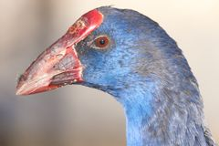 Purple Swamphen Portrait Stock Photography