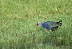 Purple Swamphen. Has arge size purplish blue coloration with variable grayish head Stock Image