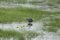 Purple Swamphen Royalty Free Stock Photography