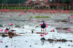 Purple Swamphen standing on the pink lotus blossom pink Stock Image