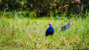 Purple Swamphen in the  Tra Su flooded forest. An Giang province, Vietnam Stock Photography