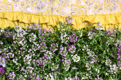 Purple Sweet Alyssum Flowers Border Stock Image