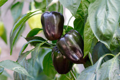 Purple sweet bell pepper Royalty Free Stock Photos