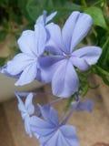Purple. Sweet flower fresh Stock Image