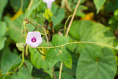 Purple sweet potato flower. Sweet potato plants and flowers in a farm stock images