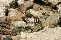 Purple Swift-footed Shore Crab Royalty Free Stock Photography