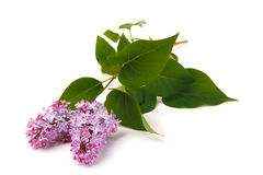 Purple syringa. On a white background with green leaves Stock Images