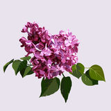 Purple syringa Royalty Free Stock Image