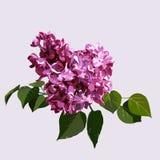 Purple syringa Royalty Free Stock Image