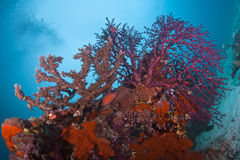 Purple and Tan soft coral reef seascape Royalty Free Stock Image