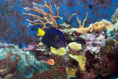 Purple Tang. In the marine tank Royalty Free Stock Image