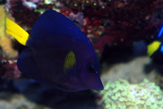 Purple Tang Royalty Free Stock Photos