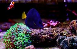 Purple Tang - Zebrasoma xanthurum royalty free stock image