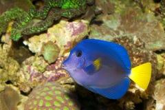 Purple Tang in Aquarium Stock Photo