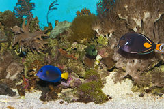 Purple Tang in Aquarium Stock Image