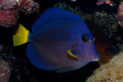 Purple Tang in cave Stock Image