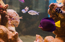 Purple tang fish. The purple tang- Zebrasoma xanthurum in a tank Stock Photo
