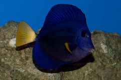 Purple Tang in front of rock Stock Photos