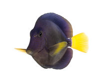 Purple tang, Zebrasoma xanthurum, isolated Stock Photography