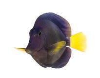 Purple tang, Zebrasoma xanthurum, isolated Stock Photography