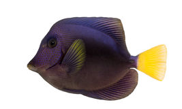 Purple tang, Zebrasoma xanthurum, isolated Royalty Free Stock Photo