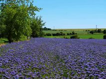 Purple Tansy field in countryside in hot summer day. Green blue purple flowers in blossom Royalty Free Stock Photography