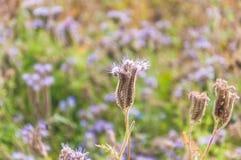 Purple tansy Phacelia tanacetifolia. Lilac flowers of honey plants lacy phacelia or purple tansy Phacelia tanacetifolia Stock Photography