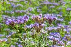 Purple tansy Phacelia tanacetifolia. Lilac flowers of honey plants lacy phacelia or purple tansy Phacelia tanacetifolia Royalty Free Stock Image