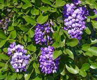Purple Texas Mountain Laurel. An up close view of purple Texas Mountain Laurel Royalty Free Stock Photography
