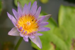 Purple thai lotus with bug Stock Images
