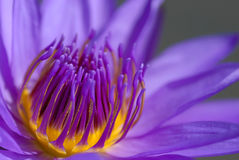 Purple Thai lotus close-up Stock Images