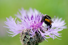 Purple thistle Stock Photo