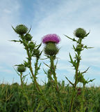 Purple Thistle Stock Image
