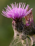 Purple thistle Stock Photos