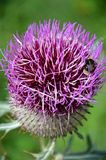 Purple thistle. A bee sucking nectar of purple thistle Royalty Free Stock Photo