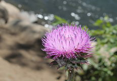 Purple Thistle. A purple thistle bloom on a summer day by the river stock images