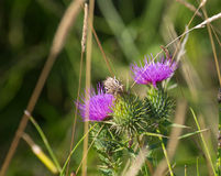 Purple thistle Royalty Free Stock Image