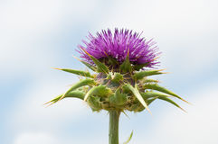 Purple thistle on blue sky Royalty Free Stock Photography